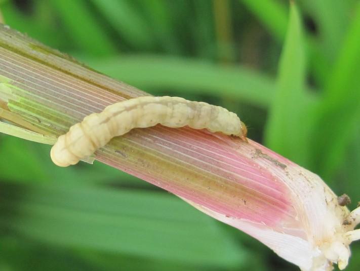 稻瘟病的预防