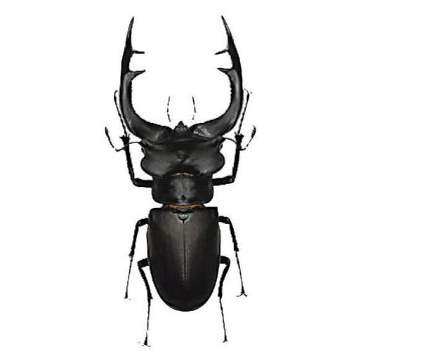 稻铁甲虫的防治方法
