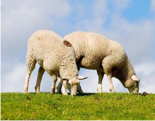 肉羊羔的饲养方法