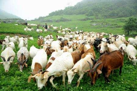 养殖肉羊育肥的技巧