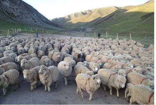 细毛羊的养殖方法
