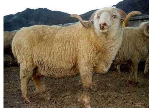 塑料暖棚养羊方法