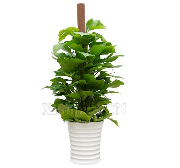 绿萝施肥技术