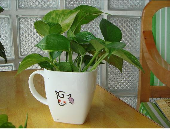 绿萝办公室的养护方法