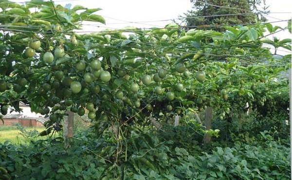 百香果种植前景和百香果种植技术