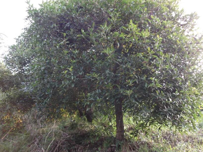 桂花树种植有什么方法