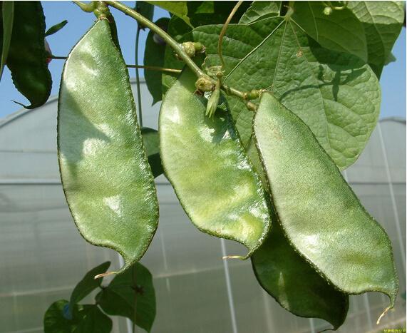 扁豆的不同加工方法
