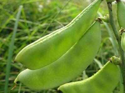 扁豆枯萎病特点