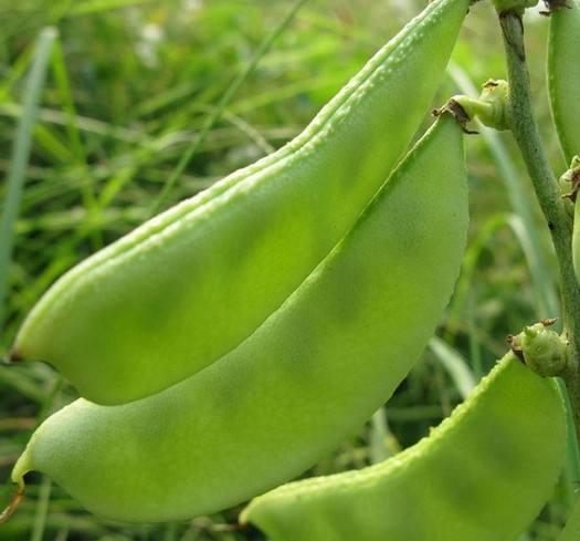 扁豆枯萎痫预防技巧