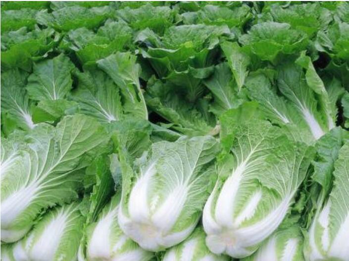 大白菜根腐病预防方法