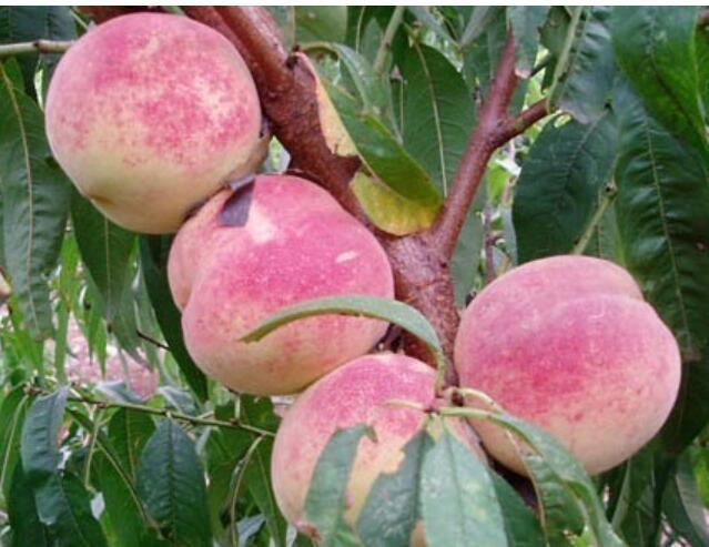 水蜜桃高产技术