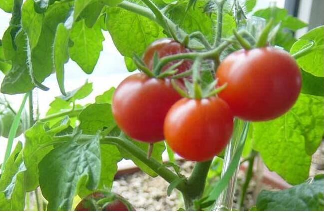 西红柿烂杆怎么样处理