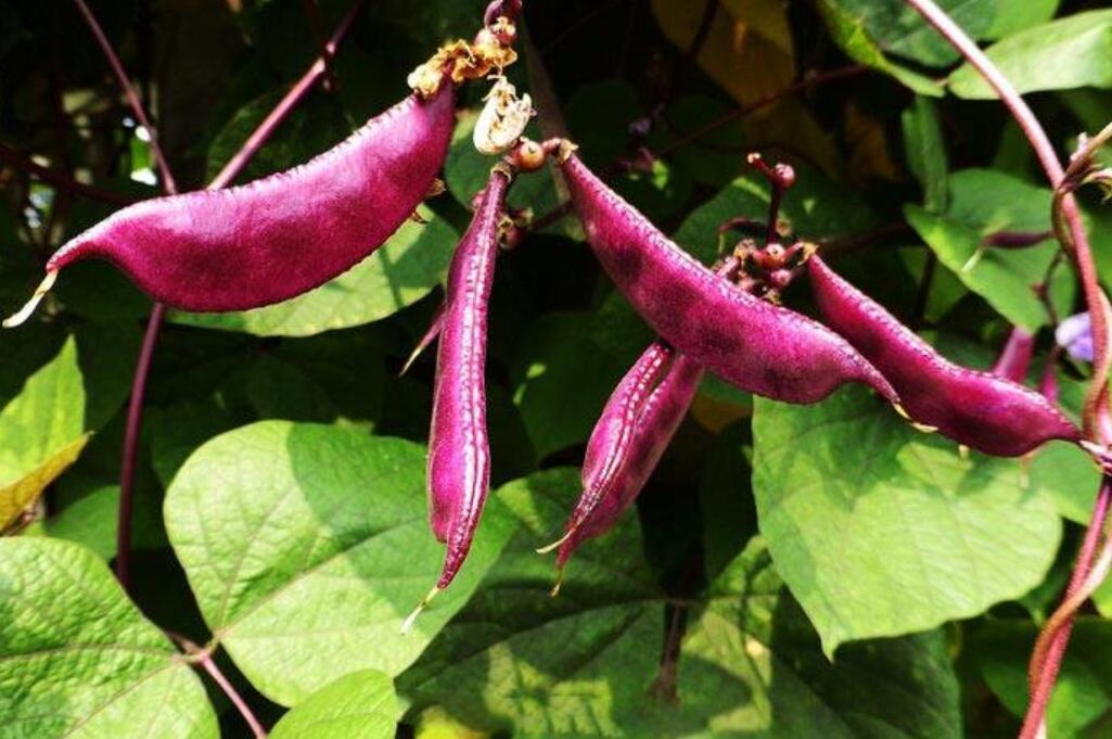 大棚扁豆结荚时施肥料注意什么