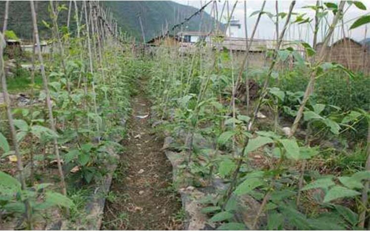 夏豇豆肥水管理技术