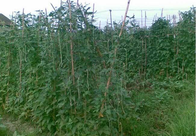 豇豆豆荚螟的防治方法