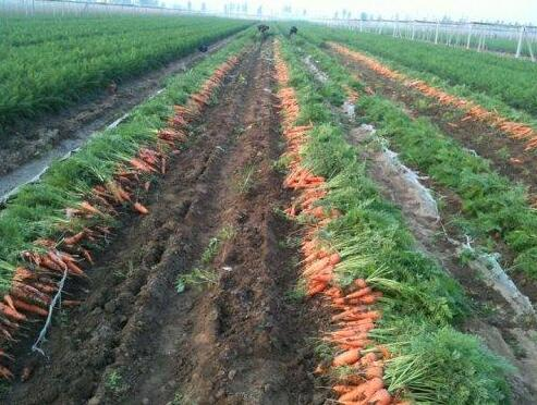 买胡萝卜时候注意什么