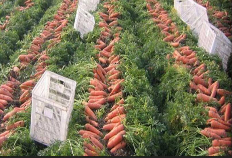 胡萝卜除草剂种类