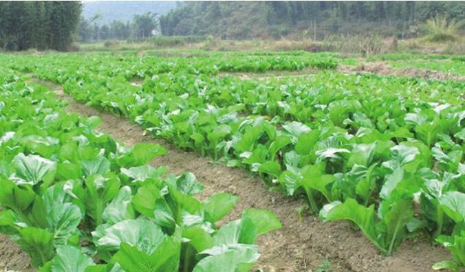 大芥菜种植粗放耕作法