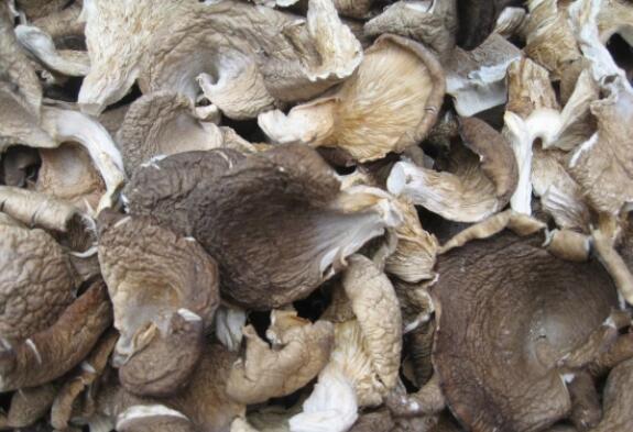鲍鱼菇种植栽培技术