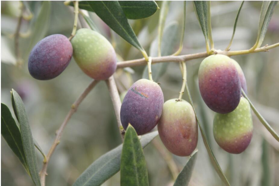 甘肃地区橄榄种植怎么样