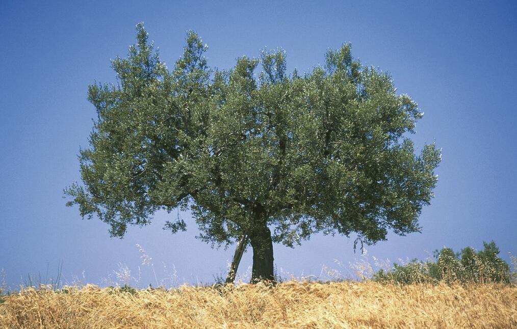 武都油橄榄品种分类