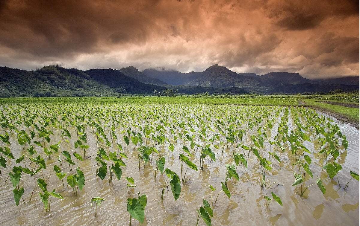 芋头栽培技术说明