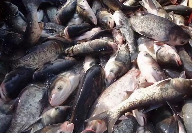 鲢鱼鱼苗如何培育