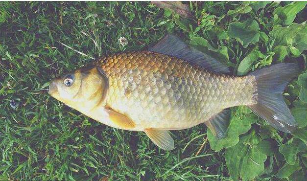 养殖草鱼喂草注意什么