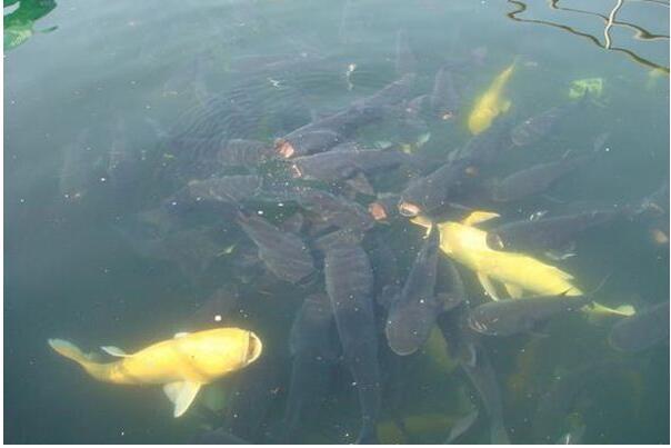 养殖草鱼肝病的防治方法