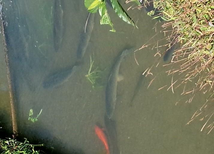 夏季草鱼的生活习性