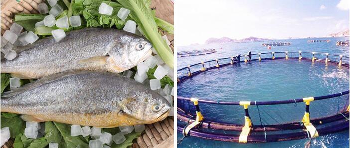 夏季大黄鱼养殖技术