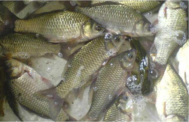 淡水鲫鱼养殖技术