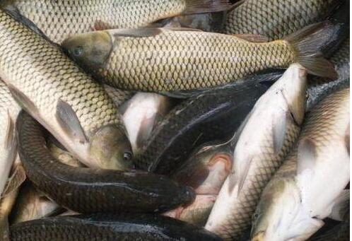 草鱼病虫害的预防
