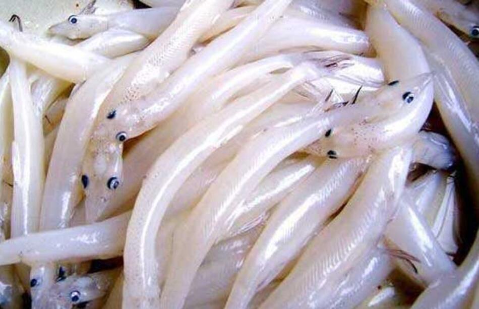 太湖大银鱼的移植技巧