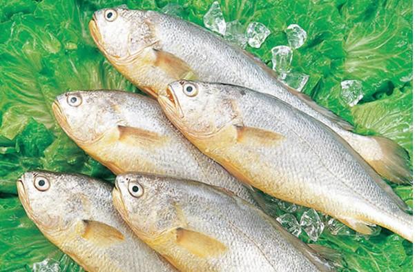 黄姑鱼常见疾病