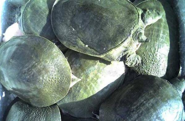 甲鱼吃什么东西