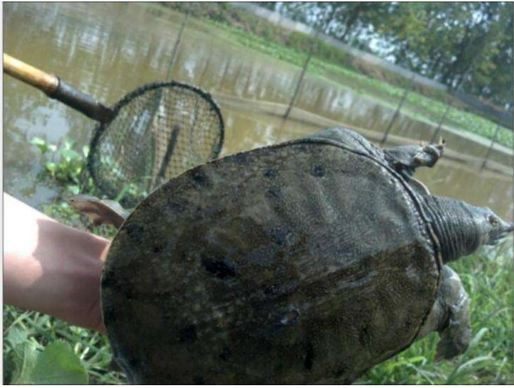 甲鱼养殖疖疮病处理方法