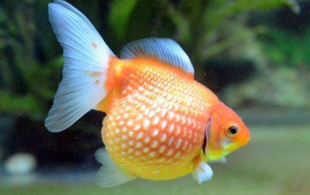 金鱼有哪些种类