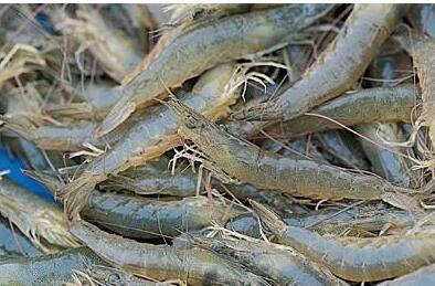 基围虾疾病预防的方法