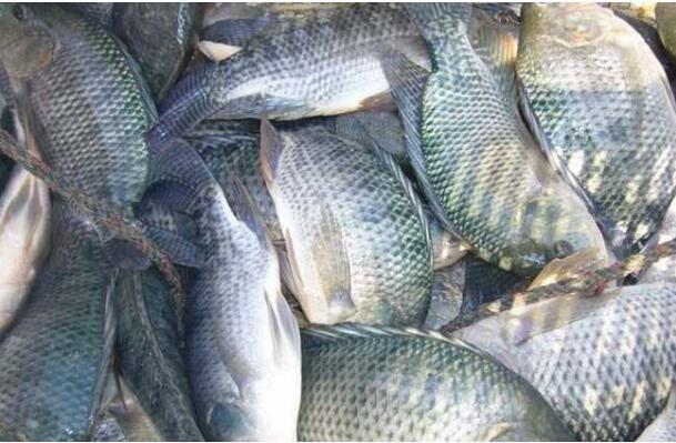 养殖鲫鱼会遇到什么问题