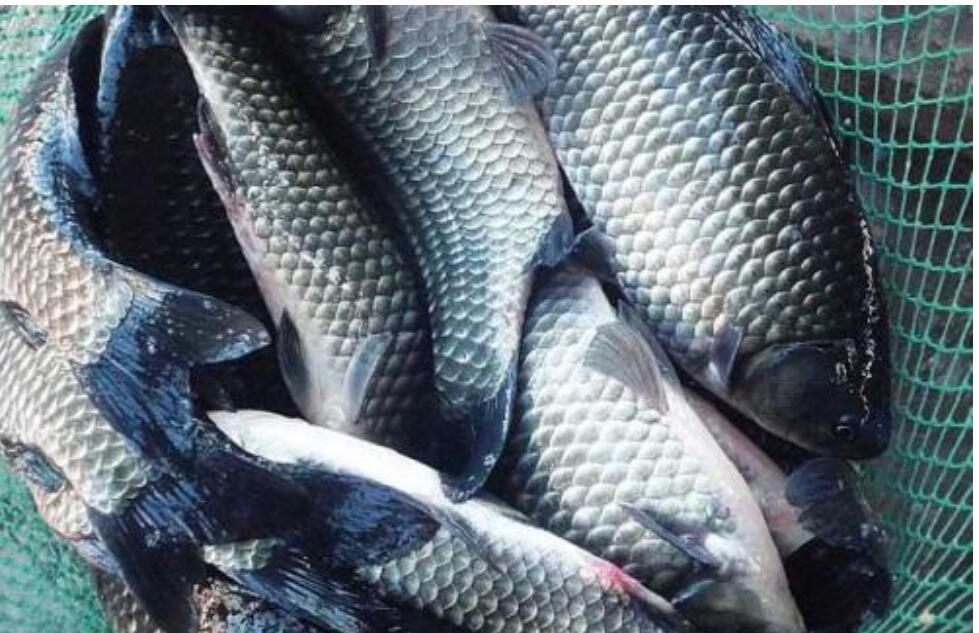 冬天鲫鱼吃什么食物