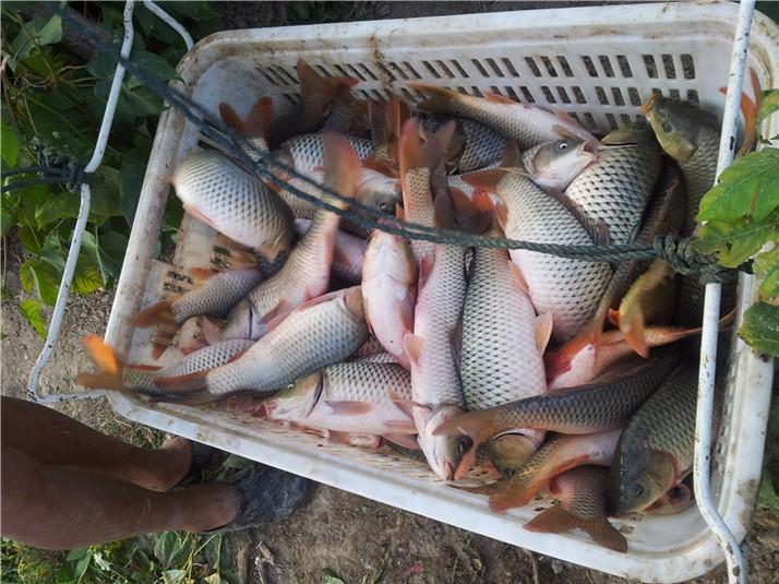 鲤鱼的生活习性