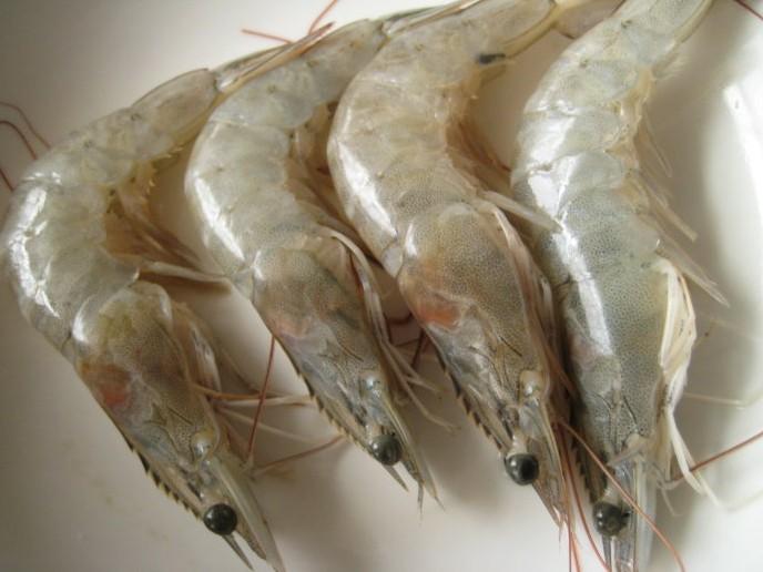南美白对虾怎么样选择品种