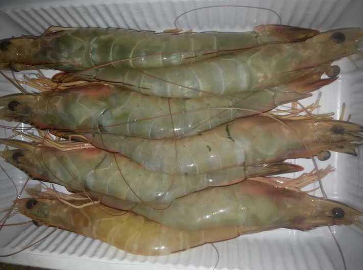 南美蓝对虾生活习性