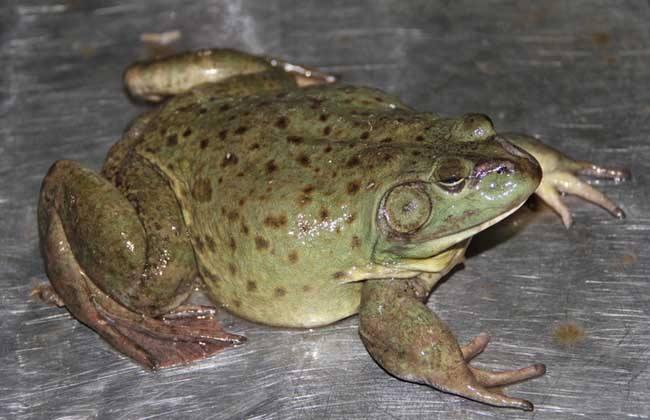 笼养牛蛙技术