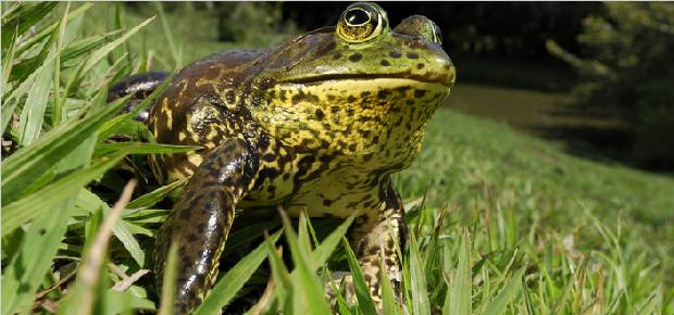 牛蛙腐皮病如何预防