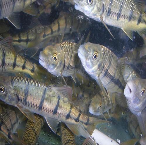石斑鱼种类