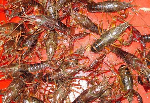 小龙虾的混养种类