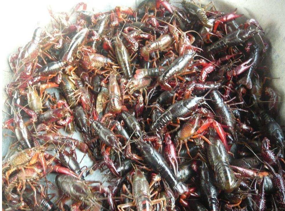 小龙虾育苗的技术