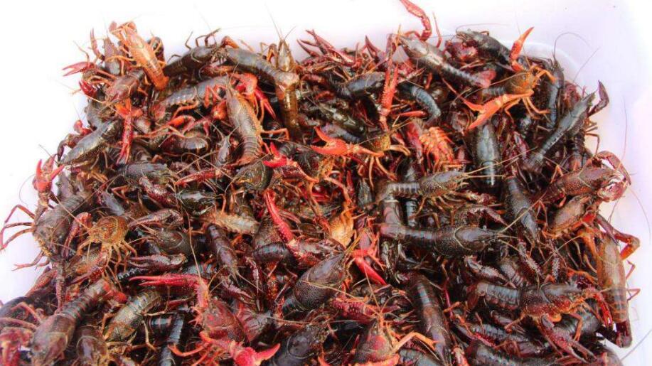 小龙虾养殖的模式